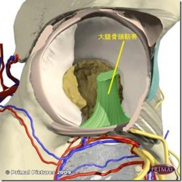 股関節痛み治療原因 大腿骨頭靭帯