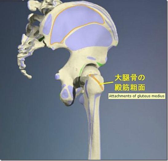 股関節痛み原因治療 大腿骨殿筋粗面4.5