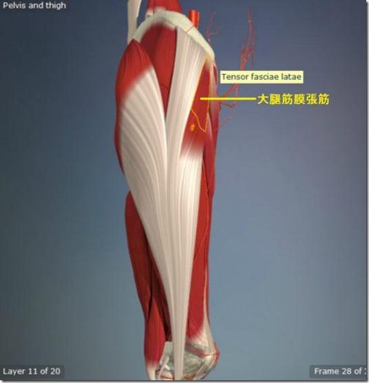 股関節痛み原因治療 大腿筋膜張筋5