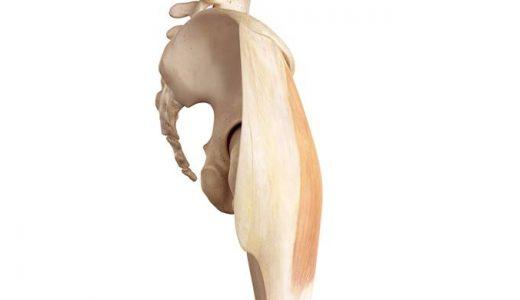 大腿筋膜張筋の解剖 作用やなぜ重要なのか図で解説します
