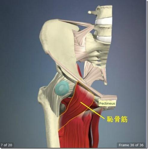 股関節痛み原因治療 恥骨筋4.5