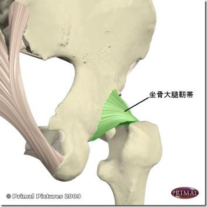 股関節痛み原因治療 坐骨大腿靭帯