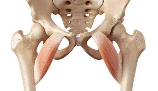 股関節の内転筋の解剖をイラストでわかりやすく解説