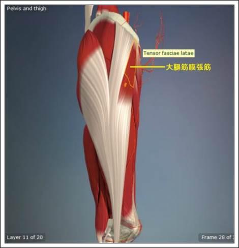 大腿筋膜張筋解剖