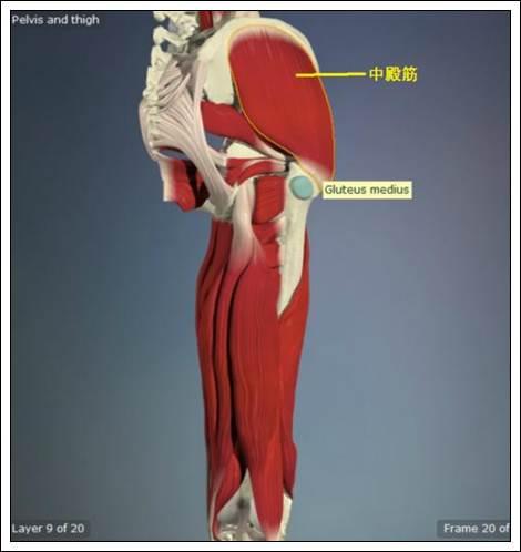 中殿筋解剖