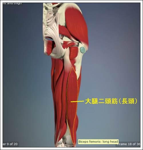 ハムストリングス 大腿二頭筋(長頭)解剖