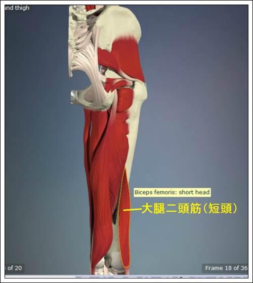 ハムストリングス 大腿二頭筋(短頭)解剖