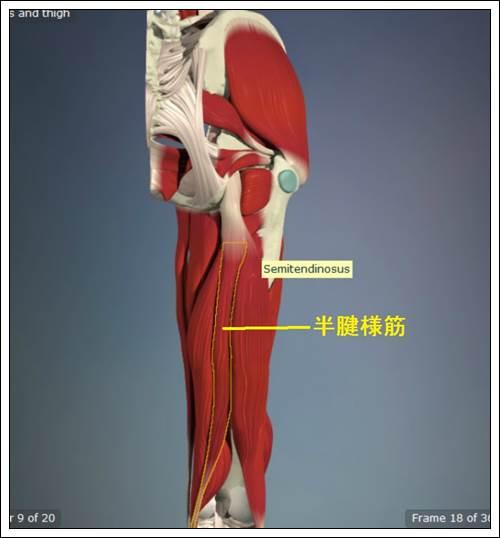 ハムストリングス 半腱様筋解剖