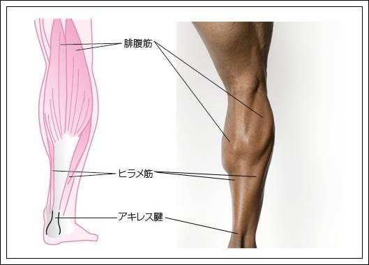 下腿三頭筋解剖
