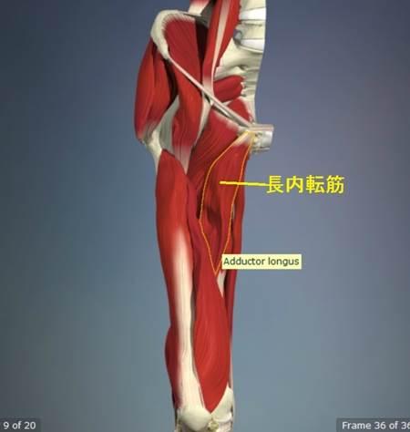 長内転筋の解剖