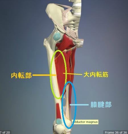 大内転筋の解剖