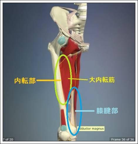 股関節痛み原因治療 大内転筋詳細4.54.7