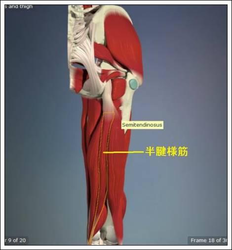股関節痛み原因治療 半腱様筋4.54.7