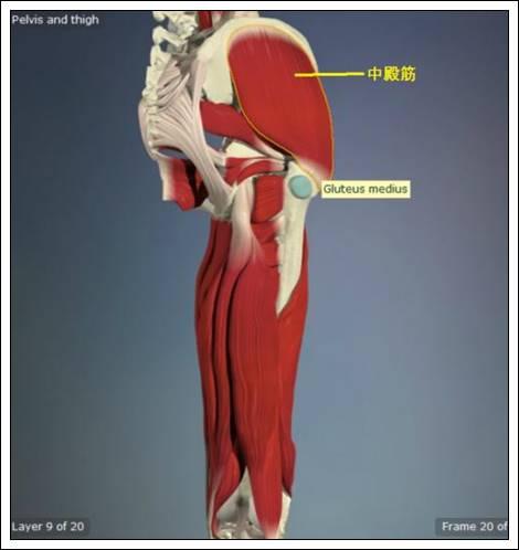 股関節痛み原因治療 中殿筋4.54.7