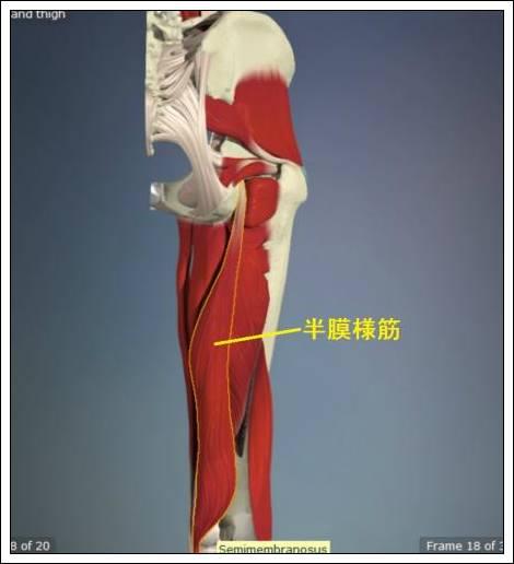 股関節痛み原因治療 半膜様筋4.54.7