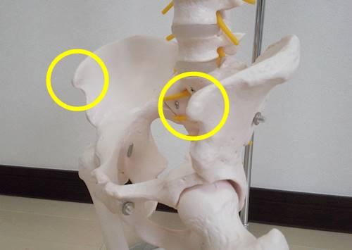 骨盤模型斜めから上前腸骨棘500