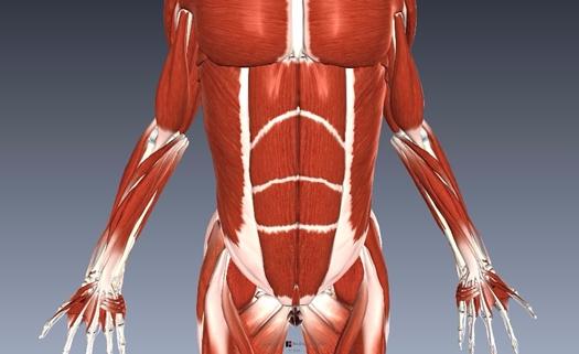 腹直筋解剖図1