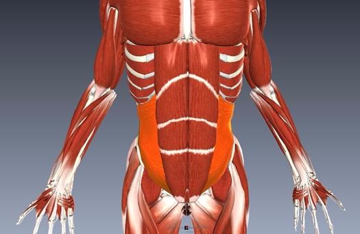 腹横筋解剖図
