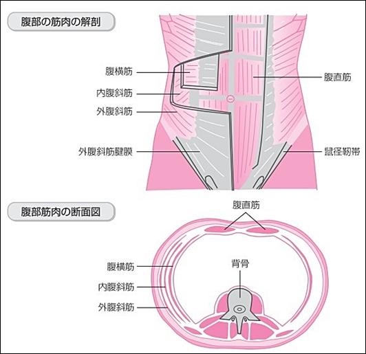 腹筋解剖図5横断面