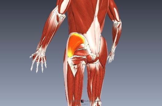 横歩きリハビリの効果と中殿筋の筋活動は?3
