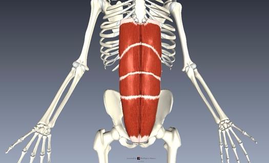 腹直筋解剖図2