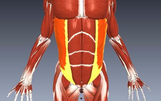 外腹斜筋解剖図