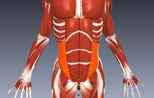 内腹斜筋解剖図