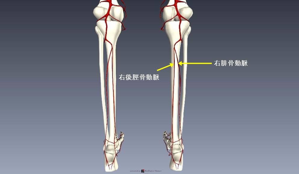 下肢血管を解剖図で詳しくご紹介!どんな動脈や静脈があるの?6