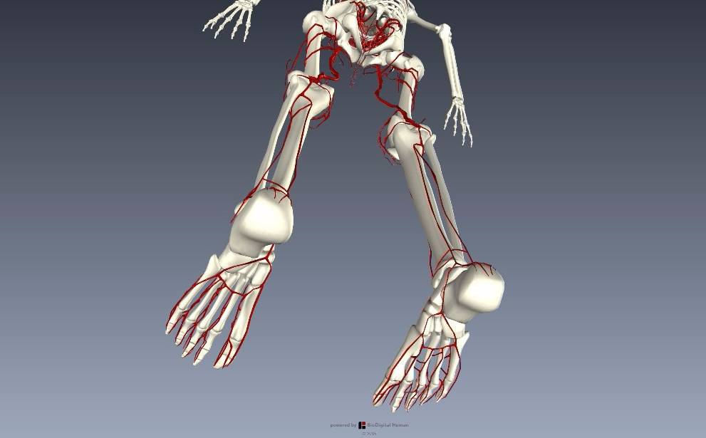 下肢血管を解剖図で詳しくご紹介!どんな動脈や静脈があるの?8
