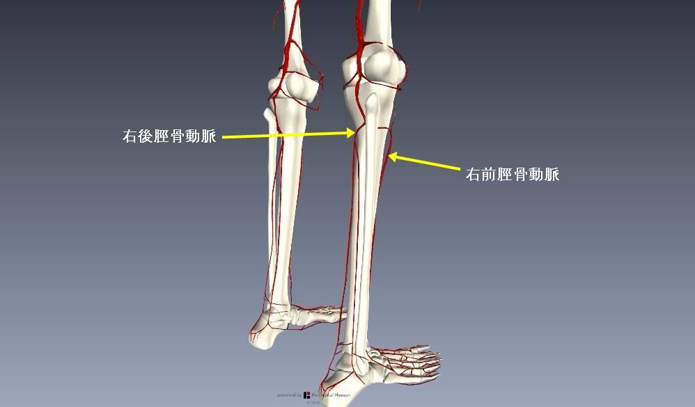 下肢血管を解剖図で詳しくご紹介!どんな動脈や静脈があるの?5