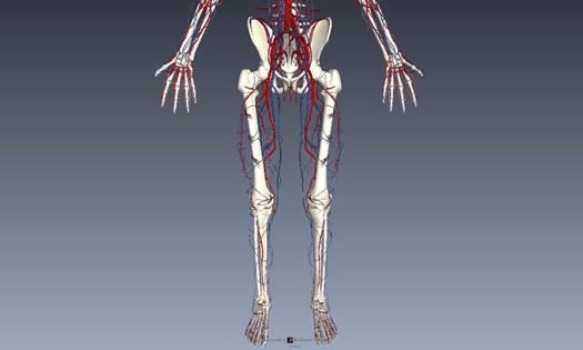 下肢血管を解剖図で詳しくご紹介!どんな動脈や静脈があるの?