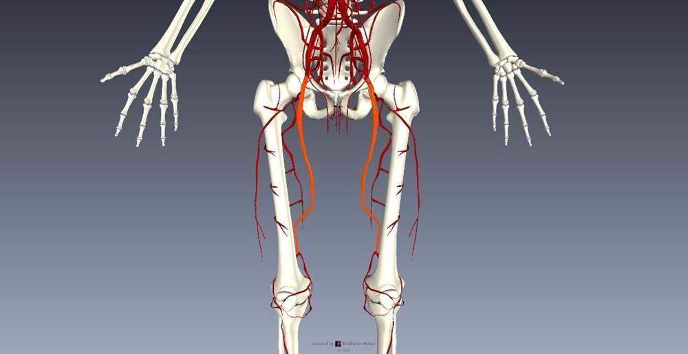 下肢血管を解剖図で詳しくご紹介!どんな動脈や静脈があるの?3