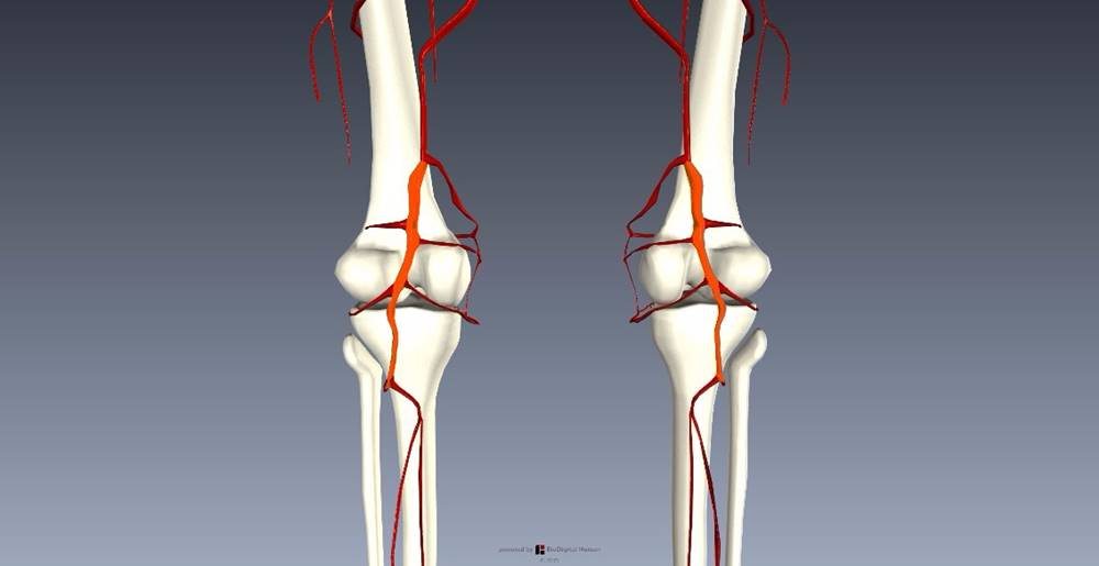 下肢血管を解剖図で詳しくご紹介!どんな動脈や静脈があるの?4