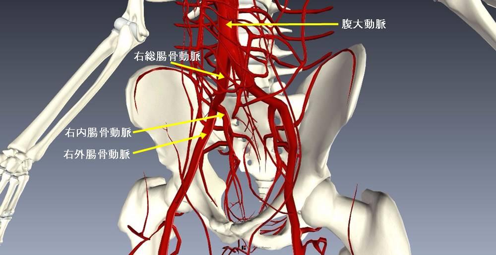 下肢血管を解剖図で詳しくご紹介!どんな動脈や静脈があるの?2