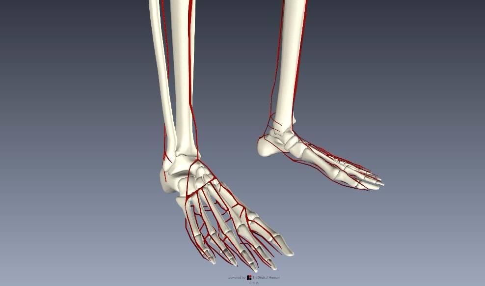 下肢血管を解剖図で詳しくご紹介!どんな動脈や静脈があるの?7