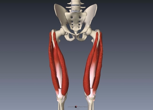 大腿四頭筋の解剖イラスト画像4