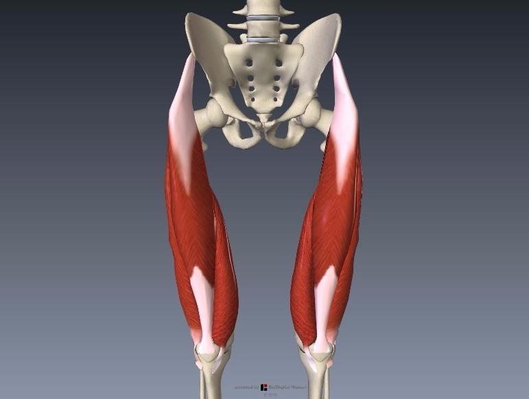 大腿四頭筋の解剖イラスト画像3