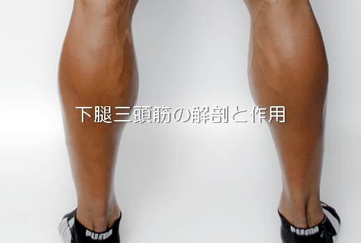 下腿三頭筋とガストロは同じ?解剖や作用を画像を用いて解説