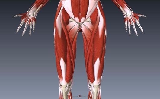 大腿四頭筋の解剖イラスト画像2