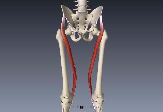 縫工筋解剖1