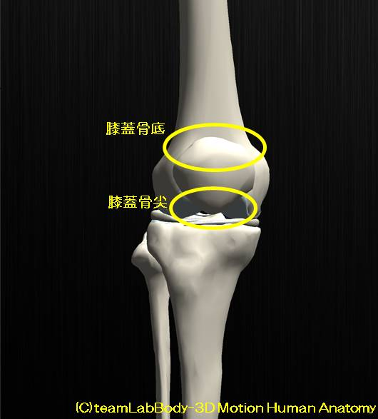 膝蓋骨の解剖、その役割と可動性。お皿はどれぐらい動くのか?7