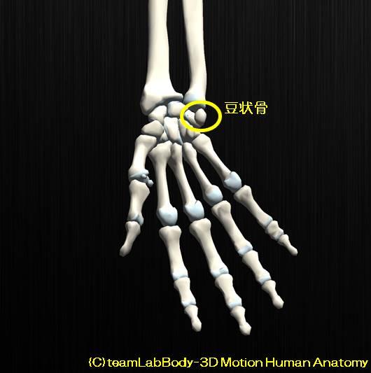 膝蓋骨の解剖、その役割と可動性。お皿はどれぐらい動くのか?10