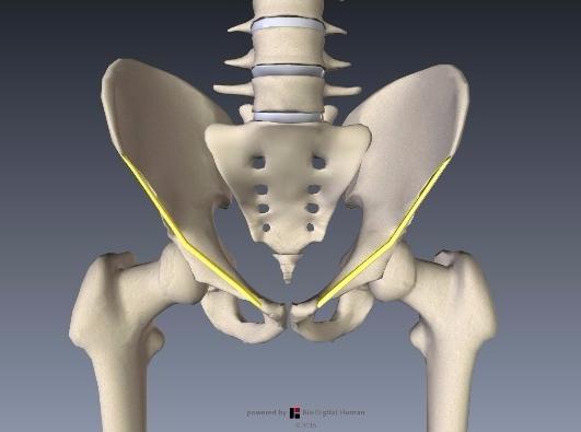 鼠径靭帯解剖1