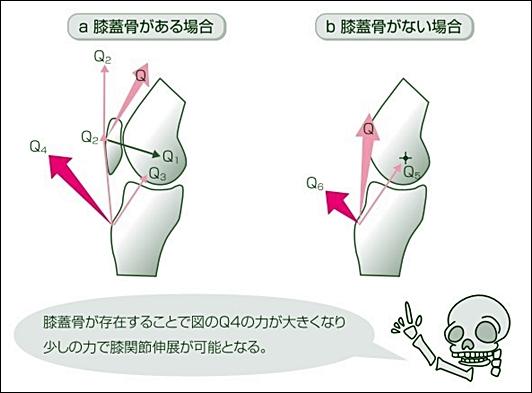 膝蓋骨の役割は大腿四頭筋の筋力アップ
