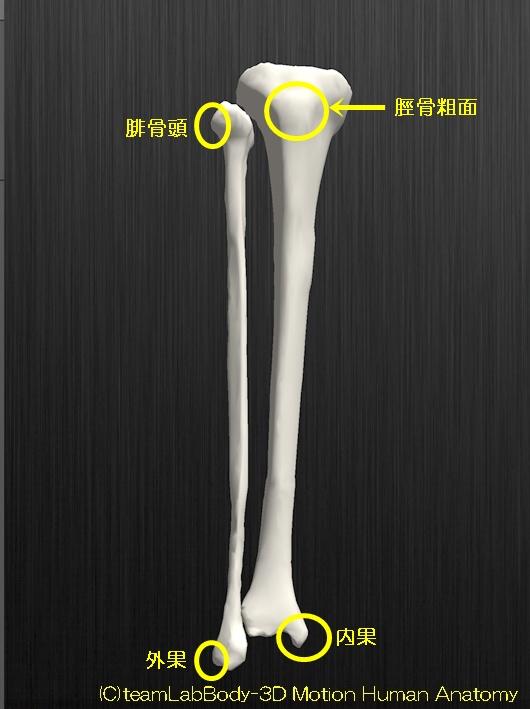 脛骨と腓骨の解剖図イラスト