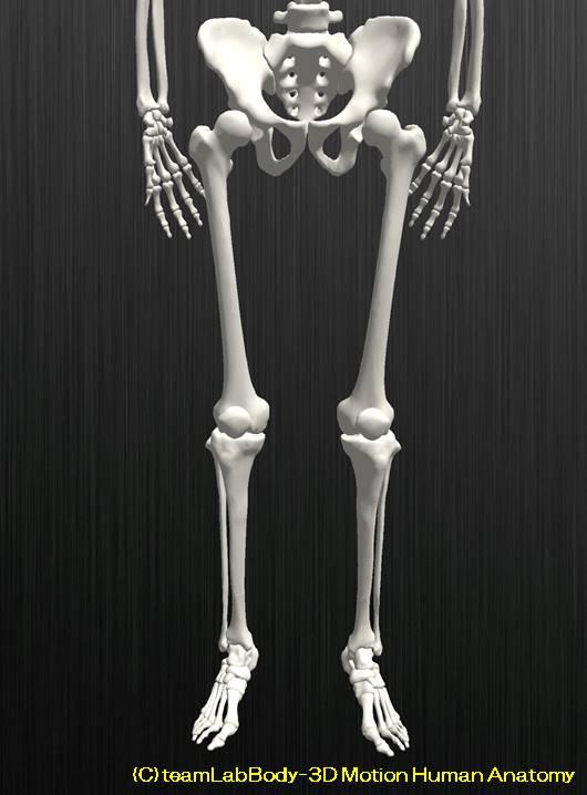 脛骨と腓骨の解剖を図を用いて分かりやすく解説します1