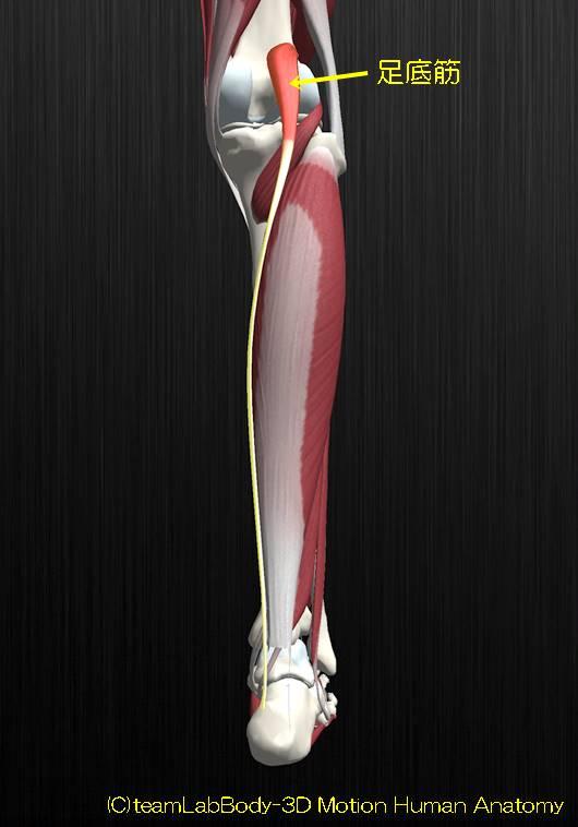 足底筋解剖図イラスト1