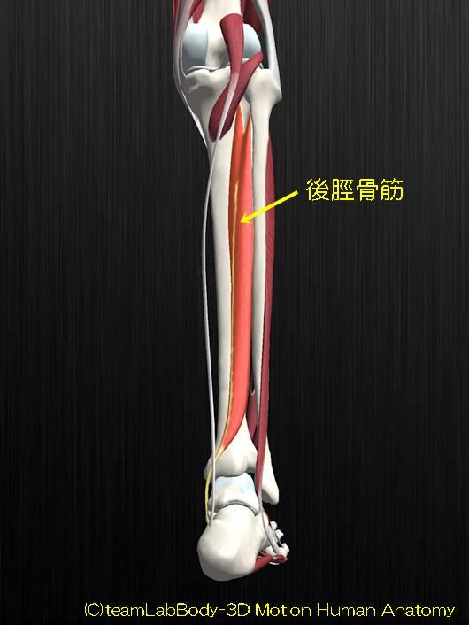 後脛骨筋解剖図イラスト2