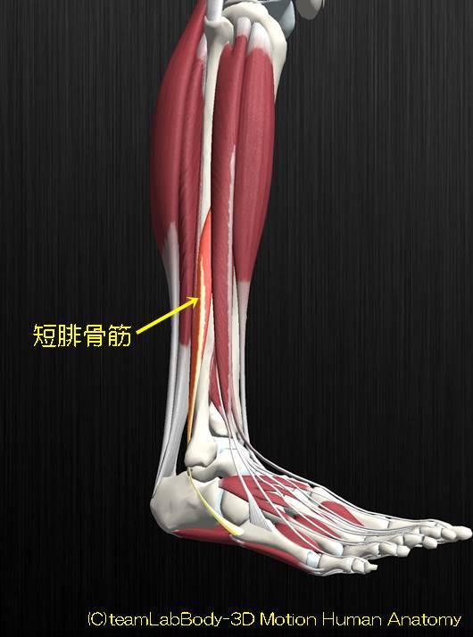 短腓骨筋解剖図イラスト2