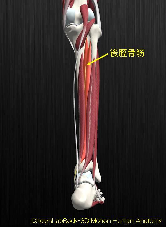 後脛骨筋解剖図イラスト1